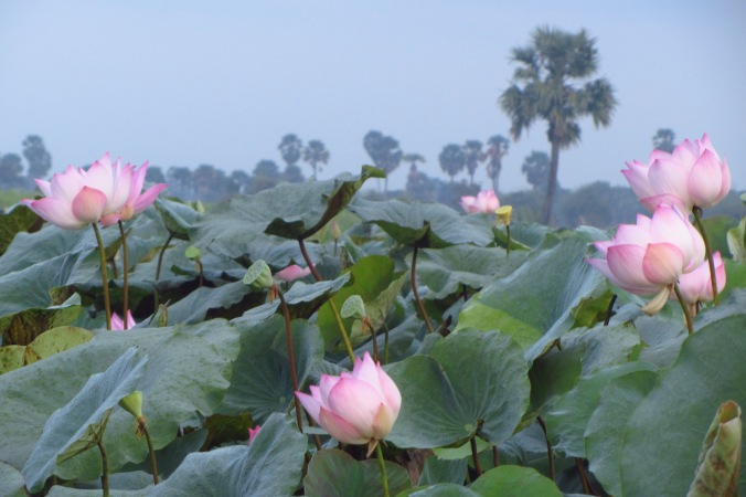 Foreground: Lotus field. Background: Palm trees. The Cambodian countryside is stunning. In Kampong Speu Province.