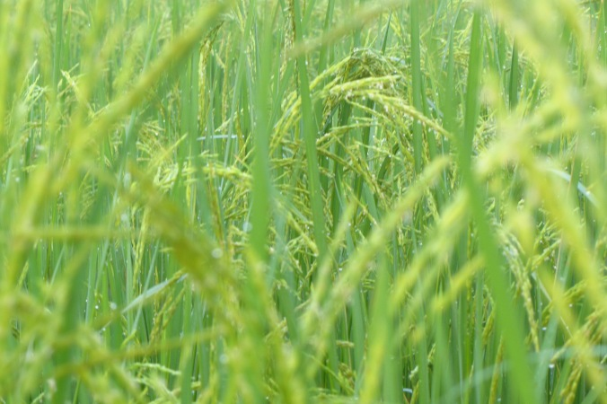 An up close look at the rice fields in late November. In Kampong Speu Province.