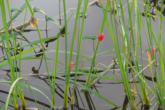 Bright seed pods attached to reeds in Kampong Speu Province