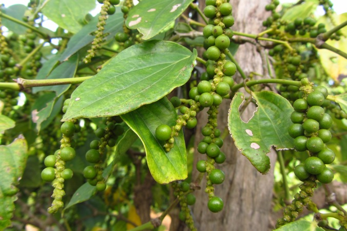 Peppercorns up close and on the vine at a pepper plantation in Kampot Province.